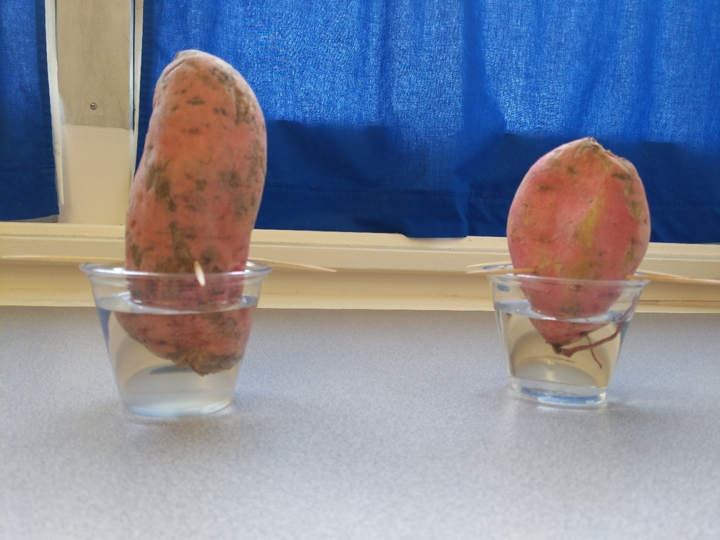 the 4th grade class is growing new roots and stems from a sweet potato plant. we are learning about Vegetative Reproduction in Science.